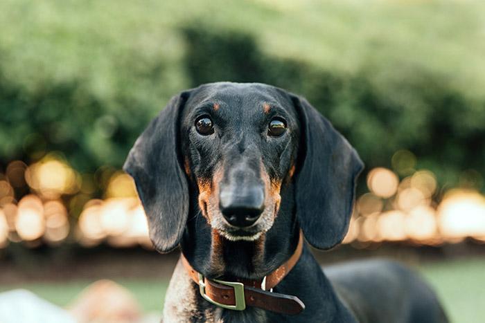 Los Mejores Collares Para Perros Salchicha En 2021 Tu Perro Salchicha