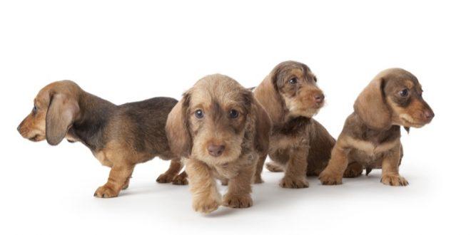 cachorros perro salchicha