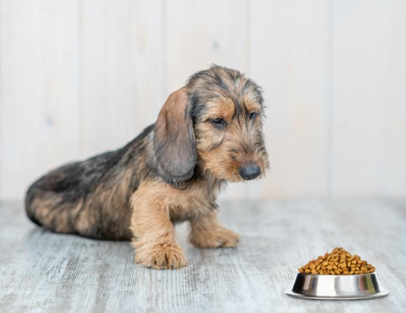 Qué puede comer un perro salchicha