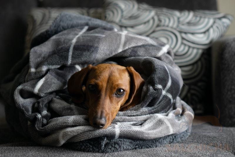 manta perro salchicha