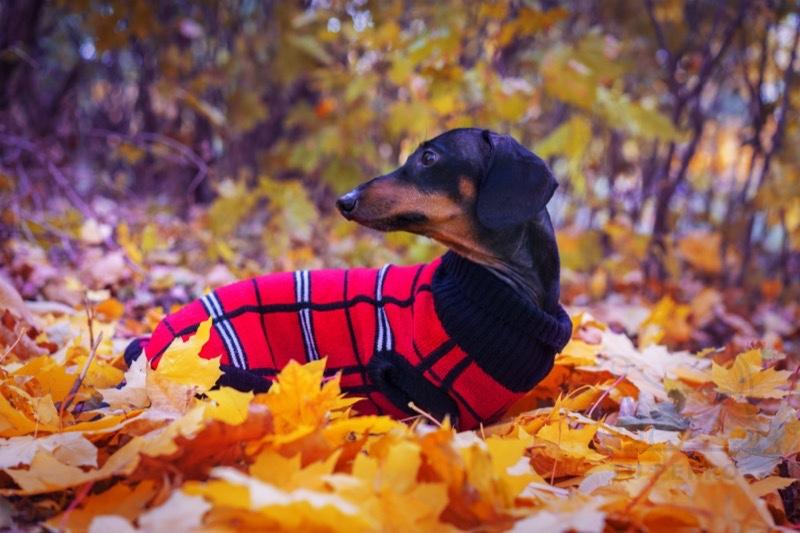 perros salchicha tienen frío
