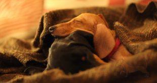 ¿Por qué tiembla tu perro salchicha?