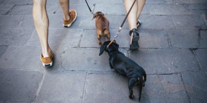 correas para perros salchicha