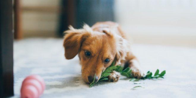 comederos automáticos para perros salchicha