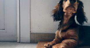 cepillos para perros salchicha