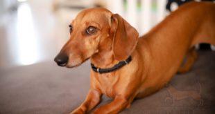 Enfermedades comunes de los perros teckel